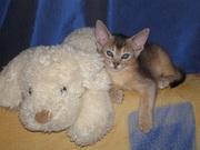Клубные Абиссинские котята (девочки)