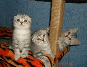 Котенок. Шотландские вислоухие и британские котята