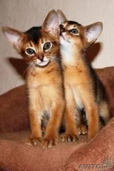 Клубные Абиссинские котята.