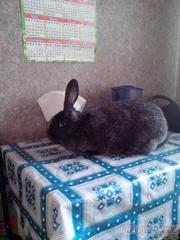 Продаю самок кроликов породы Фландр.