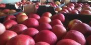 Польское яблоко высший класс (EUROHARVEST)