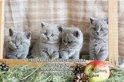 Перспективные британские котята