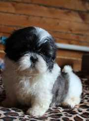 Порода: Ши-тцу. Собака дарящая любовь!