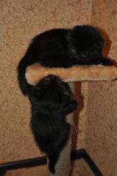 Два котенка - девочка и мальчик,  черного цвета,  2 месяца